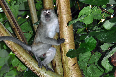 Bukit Lawang - Long-tailed Macaque