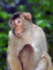 Bukit Lawang - Macaque Watching You