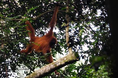 Bukit Lawang - Swinging Sumatran Orangutan