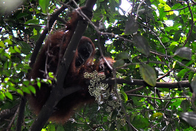 Bukit Lawang - Sumatran Orangutan Interested in some Fruit