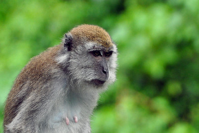 Bukit Lawang - Long-tailed Macaque