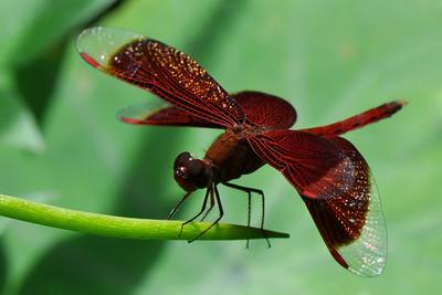 Bukit Lawang - Red Grasshawk