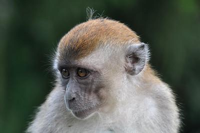 Bukittinggi - Young Macaque
