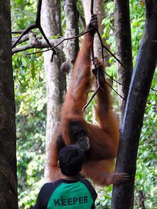 Bukit Lawang - Keeper feeding a Sumatran Orangutan