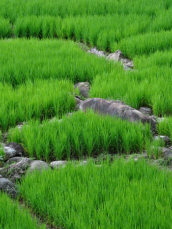 Panti - Ricefield Traces