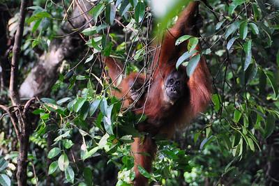 Bukit Lawang - Sumatran Orangutan with Baby