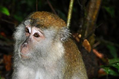 Bukit Lawang - Wondering Macaque