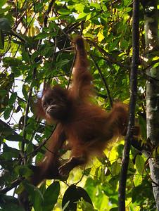 Bukit Lawang - Baby Sumatran Orangutan Wandering Off