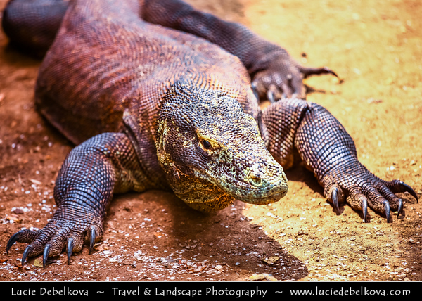 Indonesia - Rinca Island - Komodo National Park (KNP) - UNESCO World Heritage site - Komodo Dragon - World's heaviest living lizards. They can grow to a length of 10 feet (over 3 meters), with an average length of 8 feet (2.5 meters)