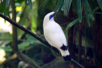 Bali Starling is endemic to the island of Bali, Indonesia. They are critically endangered due to illegal poaching for the caged bird trade.  Bali Indonesia 2015