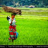 Indonesia - Flores Island - Moni Village - Traditional life in Rice Fields