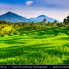 Indonesia - Java Island - Traditional Rice Terraces with Mt. Ijen in the background