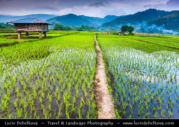 Indonesia - Flores Island - Moni Village - Traditional Rice Field