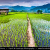 Indonesia - Flores Island - Moni Village - Traditional Rice Field