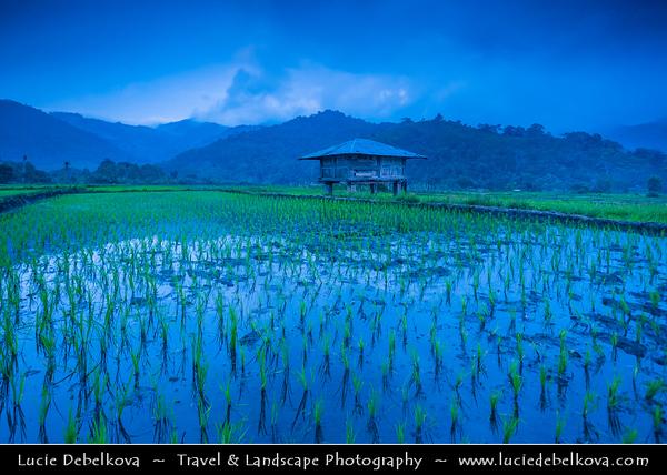 Indonesia - Flores Island - Moni Village - Traditional Rice Fiel