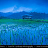 Indonesia - Flores Island - Moni Village - Traditional Rice Fiel