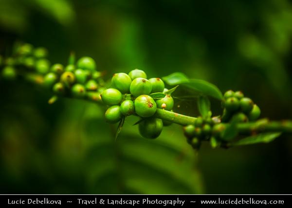 Indonesia - Java Island - Coffe on Java Coffee Plantation