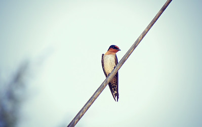 Pacific Swallow, Gili Meno