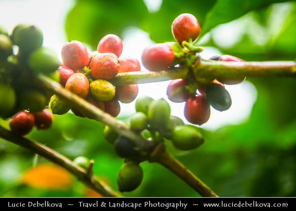 Indonesia - Java Island - Coffe on Java Coffee Plantation