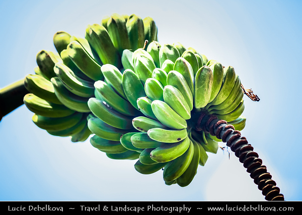 Indonesia - Flores Island - Green Tropical Paradise - Banana Tree