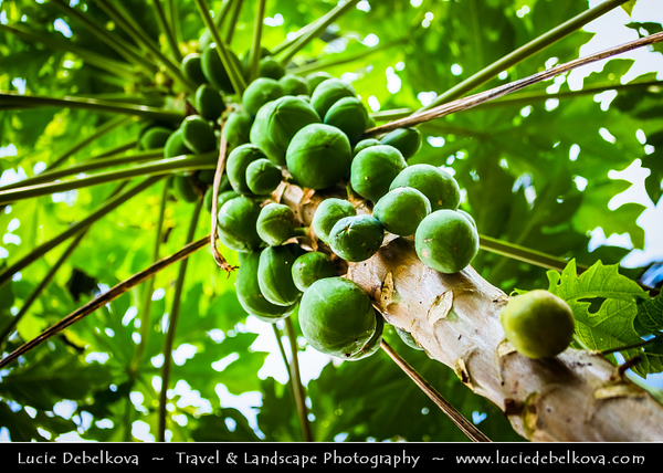 Indonesia - Flores Island - Green Tropical Paradise - Tree with Sweet Green Papaya Fruit