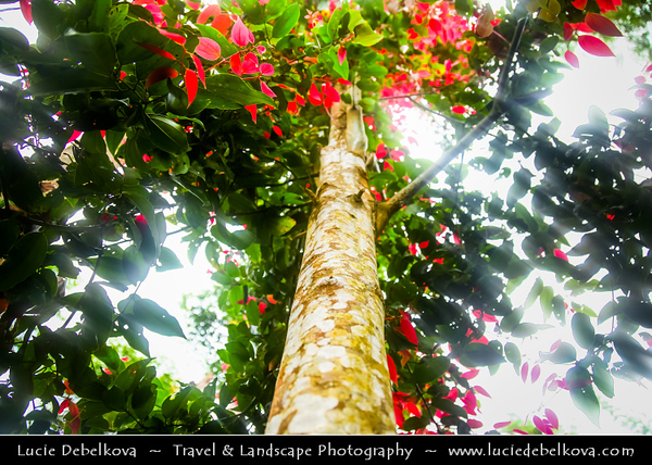 Indonesia - Java Island - Plantation of Cinnamon Trees - Spice obtained from the inner bark of several trees from the genus Cinnamomum that is used in both sweet and savoury foods