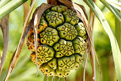 Palm Fruit, Gili Meno