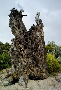 Dead old Olive tree