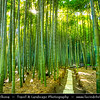 Japan - Honshu Island - Kanagawa Prefecture - Kamakura - 鎌倉市 - Kamakura-shi - Hokoku-ji Temple - 報国寺 - Take-dera - Bamboo Temple - Unique temple with 2000 thick and fine moso bamboos in bamboo grove behind the main hall