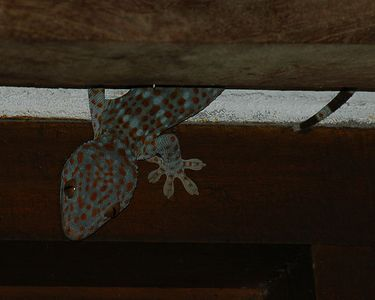 These geckos can be heard in the evening