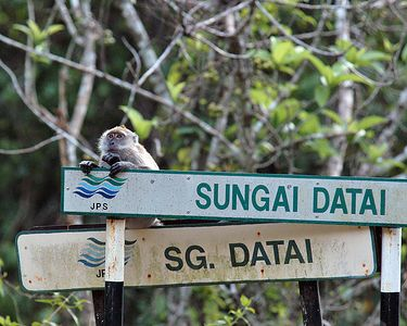 Long-tailed Macaque (aka crab-eating macaque) Monkeys are very common on Langkawi.  This one seemed to be wecoming us to the Datai