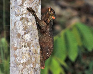This is a colugo, until a couple of years ago thought to be a gluiding lemur, but now considered to be a primate based upon DNA analysis
