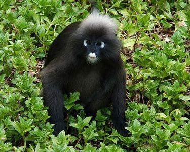 Dusky Leaf Monkey - aka Spectacled Monkey