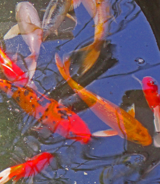 Koi ponds are found out side restaurants and in hotels for luck.