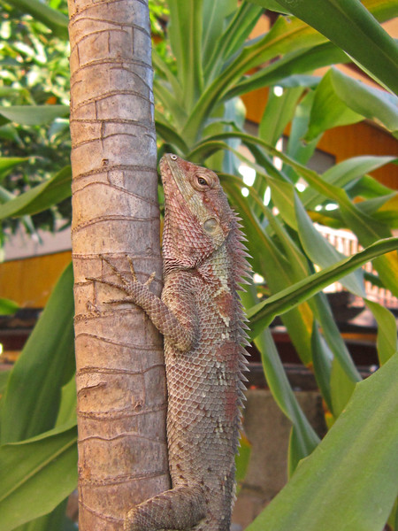 This friendly lizard hung out in the bushes outside our room. We left fruit for him that he seem to like.