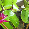 lotus flowers are found in small basins in restaurants and commercial buildlngs
