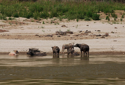 northern Laos Sites along the Mekong River in northern Laos - Cows and Water Buffalo.