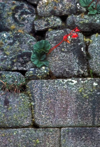 A crack in the acient stones allows a flower to grow. Many foundations in cusco are the original Inca with spanish and modern upper floors. The upper floors have fallen many times with the frequent fires and earthquakes but the foundations remain machu pichu, peru