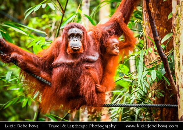 Southeast Asia - Malaysia - Borneo - Sarawak - Kubah National Park - Matang Wildlife Centre - Bornean orangutan