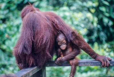 Mother and Child, Borneo, 2000