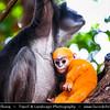 Malaysia - Kedah - Pulau Langkawi - Langkawi Island - Dusky Leaf Langur with Orange Coloured Baby
