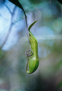 Pitcher Plant, Borneo, 2000