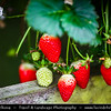 Malaysia - Pahang Darul Makmur - Cameron Highlands - One of Malaysia's most extensive hill stations - Strawberry farms - Cold climate makes it suitable for cultivating strawberries all-year-round