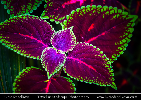 Malaysia - Pahang Darul Makmur - Cameron Highlands - One of Malaysia's most extensive hill stations - Rose Centre & Botanical Gardens