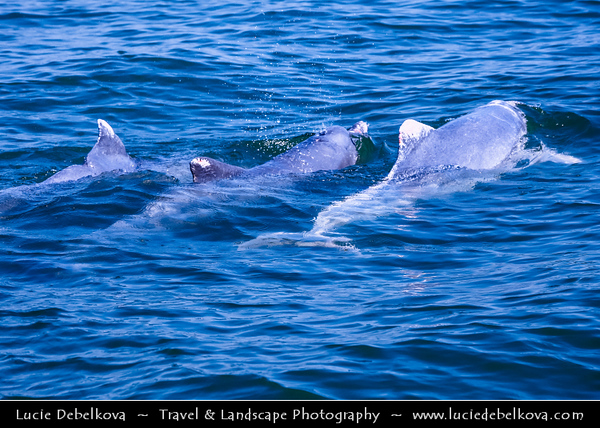 Malaysia - Kedah - Pulau Langkawi - Langkawi Island - Kilim Karst Geoforest Park - Located at the East of Langkawi Island -  Kilim Karst Geoforest Park is located at the East of Langkawi Island - Doplhins swiming in waters of Andaman Sea