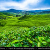 Malaysia - Pahang Darul Makmur - Cameron Highlands - One of Malaysia's most extensive hill stations - Tea Plantations - One of tourism Malaysia highlands favourite attractions