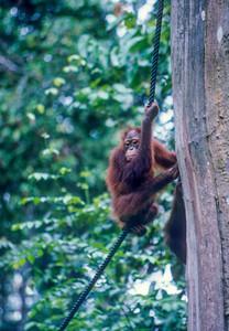 Orang-utan, Borneo, 2000