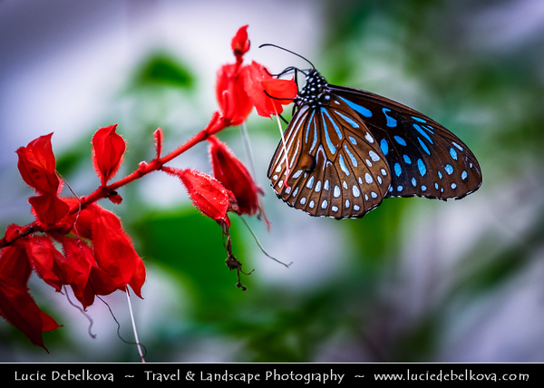 Malaysia - Pahang Darul Makmur - Cameron Highlands - One of Malaysia's most extensive hill stations - Butterfly Farm - One of Cameron Highland's oldest tourist attractions - Garden enclosure built along a hill slope, filled with free-flying butterflies