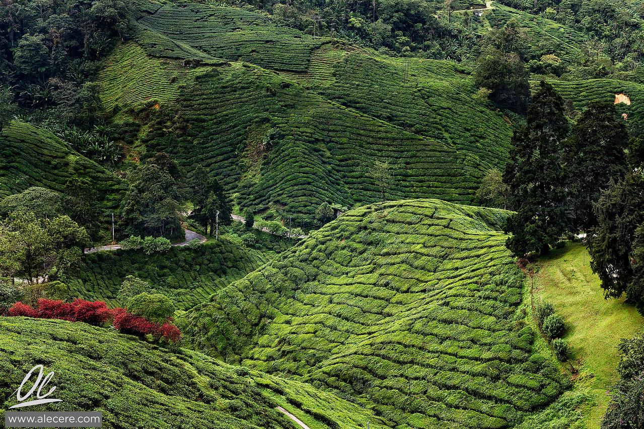 Hills of Boh tea