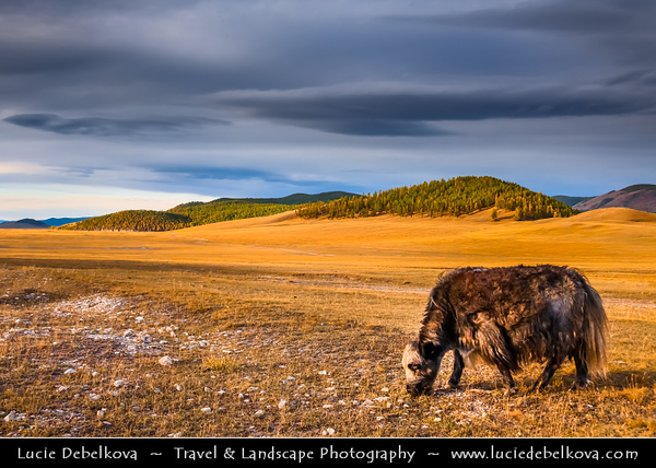 Asia - Mongolia - Монгол улс - Land of Vast Steppes & Kind Nomads - Khövsgöl Province - Хөвсгөл - Northernmost of the 21 provinces - Lake Khövsgöl - Хөвсгөл нуур - Khövsgöl nuur - Surrounding landscape with beautiful autumn colors - Yak - Long-haired bovine found throughout the Himalayan region of south Central Asia, the Tibetan Plateau and as far north as Mongolia and Russia